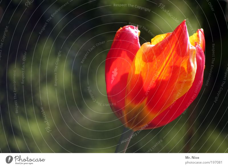 tulip Plant Flower Tulip Park Red Spring Spring fever Flower shop Valentine's Day Mother's Day Yellow Nature Blossoming Orange heralds of spring by oneself