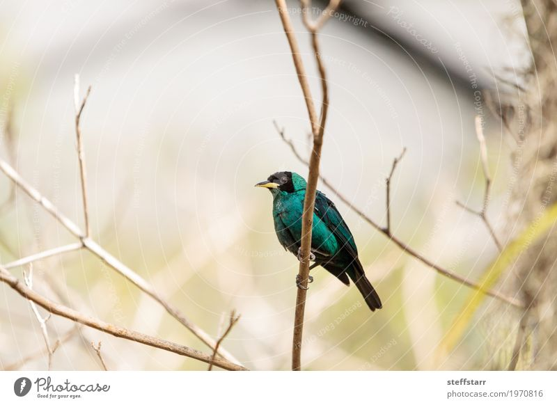Green honeycreeper scientifically known as Chlorophanes spiza Tree Forest Animal Bird 1 Blue Black Wild bird Feather fly Perches wing South America Colour photo