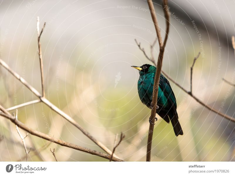 Green honeycreeper scientifically known as Chlorophanes spiza Nature Tree Forest Animal Bird 1 Blue Brown Black Wild bird Feather fly Perches wing South America