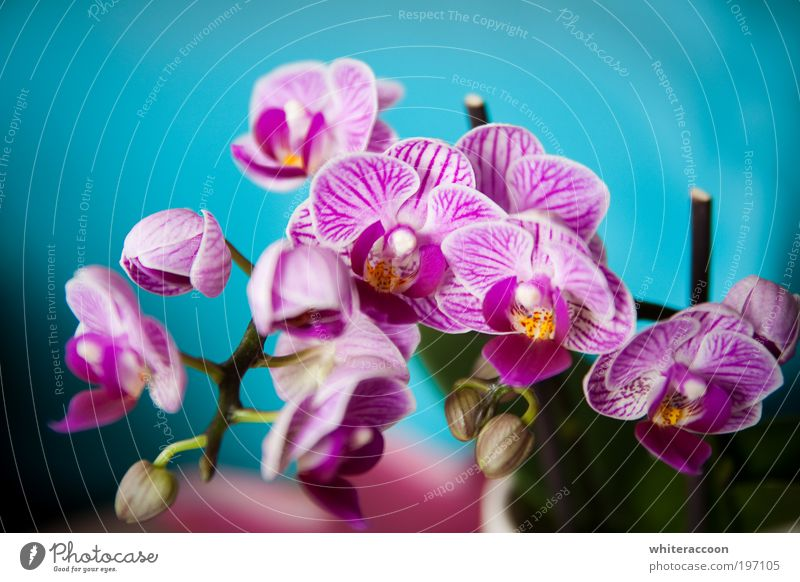 The Flower I Love Style Exotic Plant Orchid Blossoming Fragrance Blue Multicoloured Yellow Pink Colour photo Close-up Macro (Extreme close-up) Day Sunlight