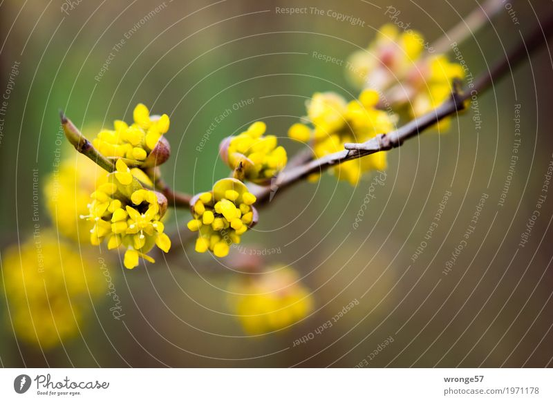 Nature Plant Beautiful Green Yellow Blossom Spring Natural Brown Bushes Bud Spring fever Wild plant Twigs and branches Spring flower Spring colours