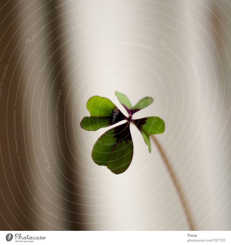 Green Plant Leaf Blossom Happy Desire Stalk Positive Symbols and metaphors Cloverleaf Congratulations Good luck charm Pot plant Wild plant Heart-shaped Four-leafed clover