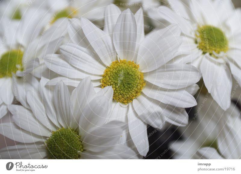 lean rides Flower Garden Plant Marguerite