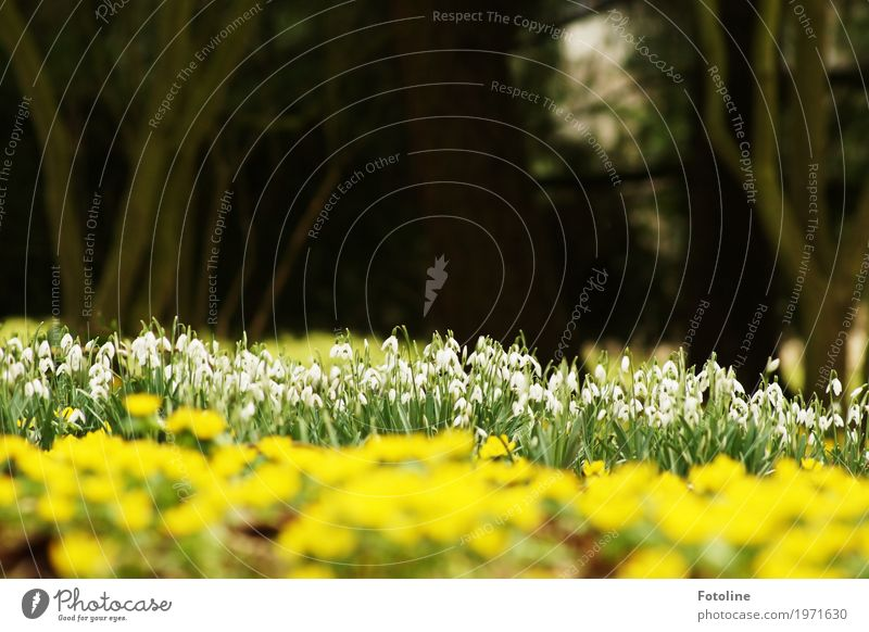 sea of blossoms Environment Nature Landscape Plant Spring Beautiful weather Tree Flower Blossom Garden Park Natural Yellow Green White Snowdrop