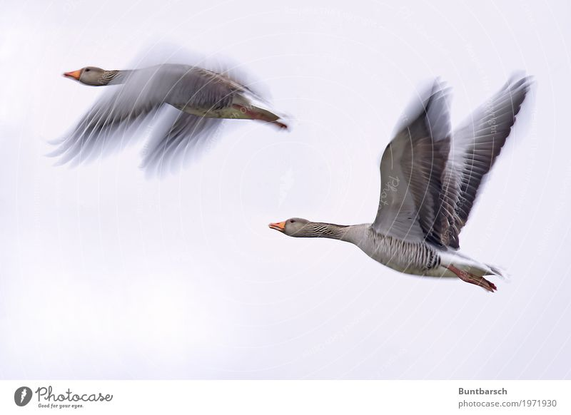 Flies! Nature Animal Sky Wild animal Bird Wing Goose Gray lag goose Migratory bird 2 Flying Elegant Together Red Flock of birds Colour photo Subdued colour