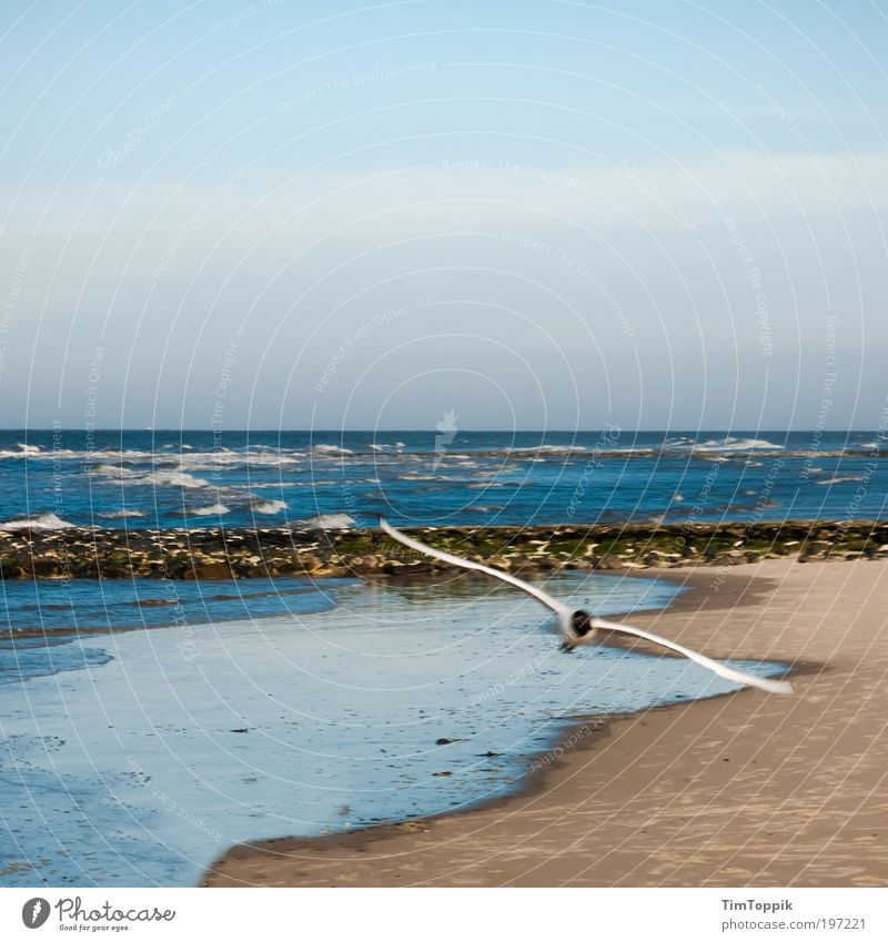 Attention low-flying aircraft! Ocean Flying Beach Walk on the beach Sea bird Seagull North Sea North Sea coast East frisian island Wangerooge Vacation mood