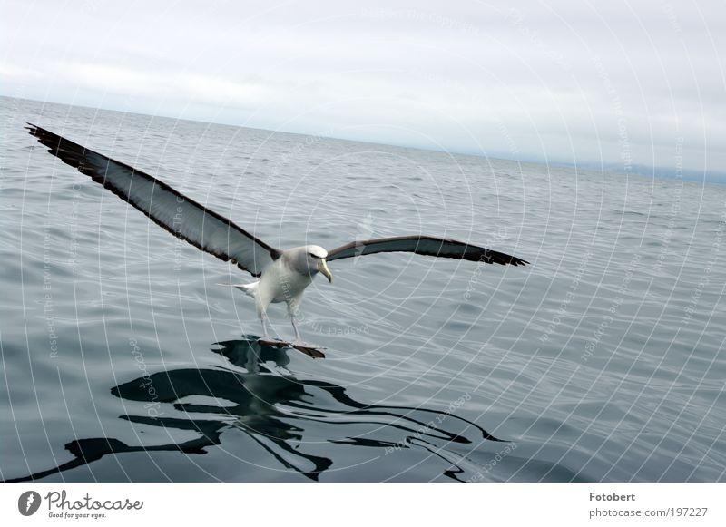 landing albatross Animal Wild animal Bird Albatros 1 Water Esthetic New Zealand kaikoura kaikura Subdued colour Exterior shot Deserted Day