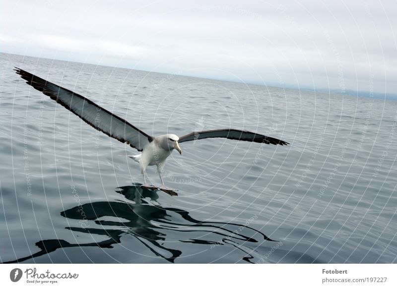 Water Animal Bird Esthetic Wild animal New Zealand Sea bird Light Albatros