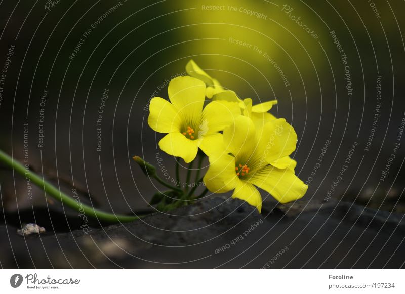 A little flower for PC Environment Nature Plant Spring Summer Climate Weather Beautiful weather Warmth Flower Park Fragrance Yellow Blossom Blossom leave Calyx