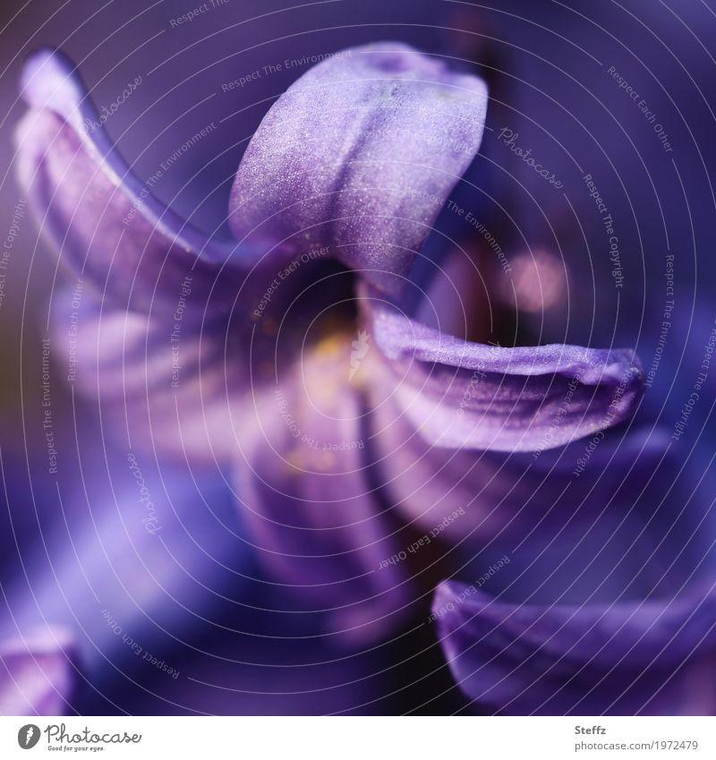 volette hyacinth Hyacinthus Flower Blossom Spring flower aromatic plant fragrances fragrant fragrant flowers Fragrance purple flowers differently petals