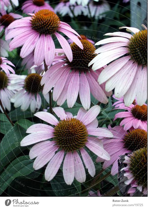 flowers Flower Pink Nature