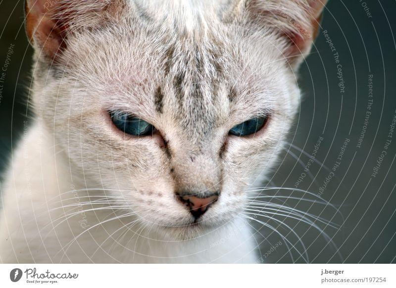 Cat Blue Animal Gray Baby animal Esthetic Exceptional Threat Soft Cute Animal face Curiosity Pelt Thin Near Fatigue