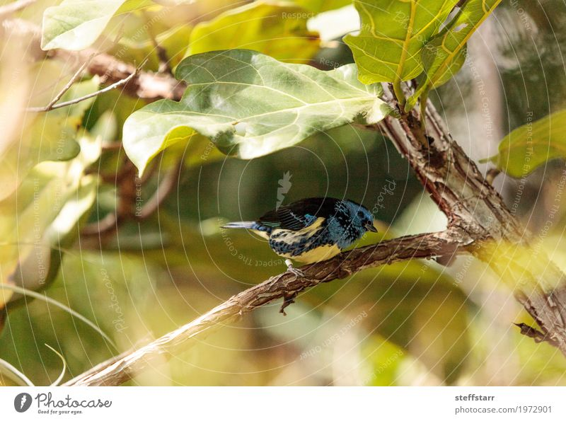 Turquoise tanager known as Tangara mexicana Nature Animal Plant Tree Bird 1 Blue Brown Yellow Green tanger Tangara Mexicana avian wildlife Wild bird Venezuela