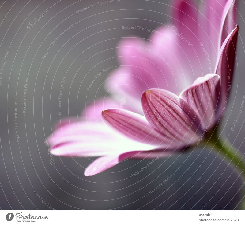 Nature Flower Plant Blossom Spring Gray Park Moody Pink Soft Violet Delicate Smooth Blossom leave Spring flower