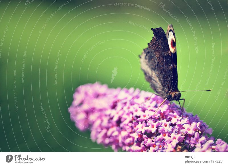 smettaling Plant Spring Summer Animal Butterfly 1 Green Pink Colour photo Multicoloured Exterior shot Macro (Extreme close-up) Copy Space left Copy Space top