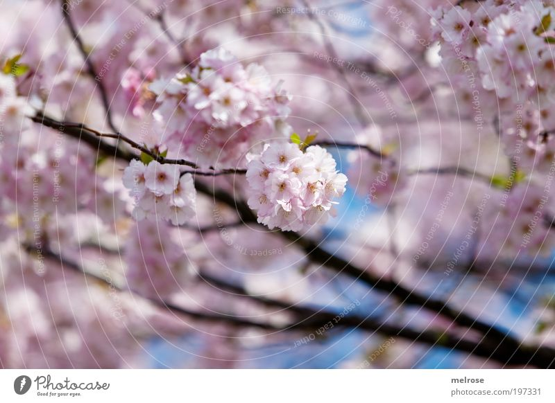 flower dream Trip Freedom Nature Plant Sky Sunlight Spring Beautiful weather Breathe Touch Blossoming Fragrance Relaxation Hang Dream Growth Positive Pink