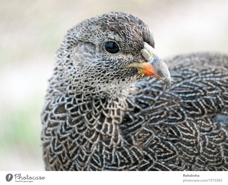 Nature Summer Beautiful Animal Bird Feather Beak Barn fowl Poultry South Africa Flightless bird