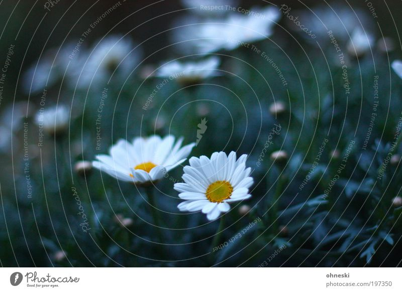 Nature Flower Plant Blossom Spring Happy Moody Environment Hope Joie de vivre (Vitality) Optimism Marguerite Spring fever