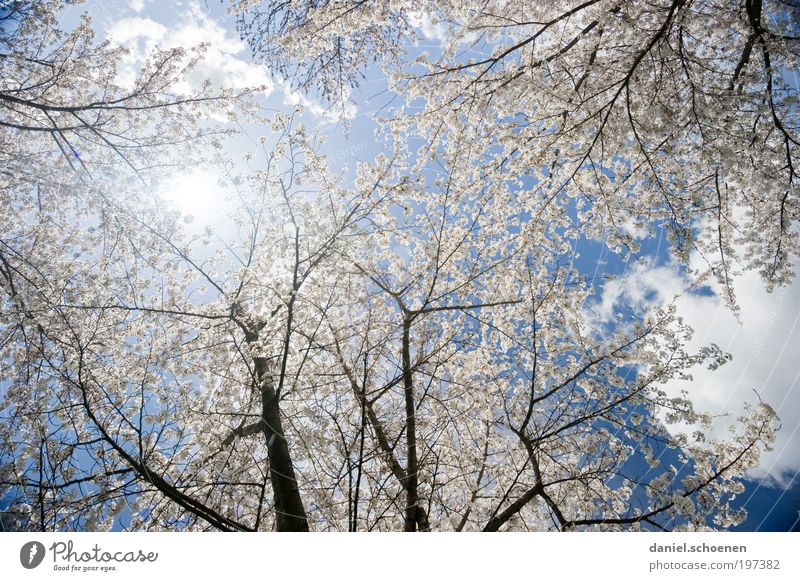 Solar Energy Part 4 Nature Plant Sky Sun Spring Weather Beautiful weather Tree Park Blue Pink White Pure Calm Growth Change Cherry tree Cherry blossom Light