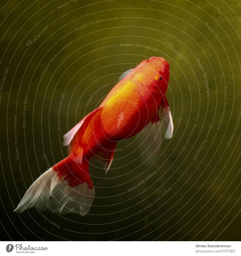 hungry for the sun Well-being Calm Sun Animal Water Pond Pet Fish Scales Above Gold Green Red Goldfish Orange Tails flowed Lighting Upward Location Living thing