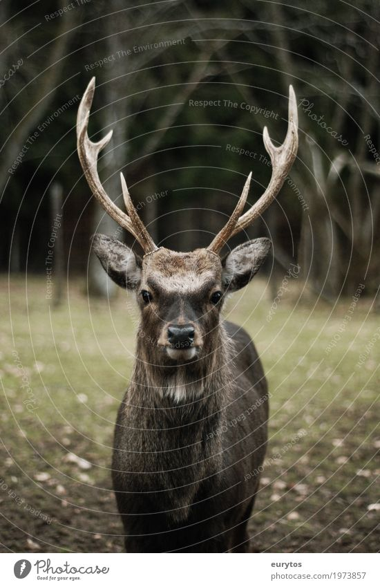 King of the woods Environment Nature Landscape Plant Animal Wild animal 1 Honor Bravery Success Power Willpower Might Deer Vension Wilderness Colour photo