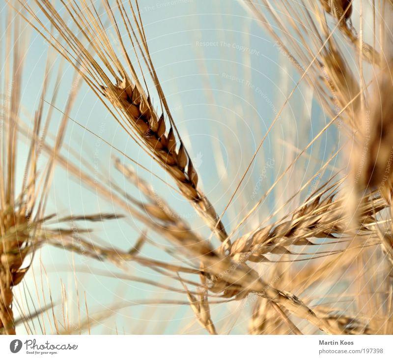 Nature Summer Plant Grain Mature Organic produce Ecological Ear of corn Agricultural crop Barley ear