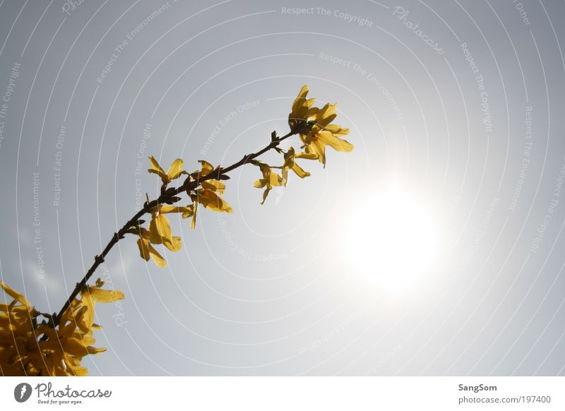 first yellow Sunlight Spring Beautiful weather Plant Flower Blossom Blossoming Yellow Spring fever Anticipation Goldenchain tree Sky Spring flower Spring day