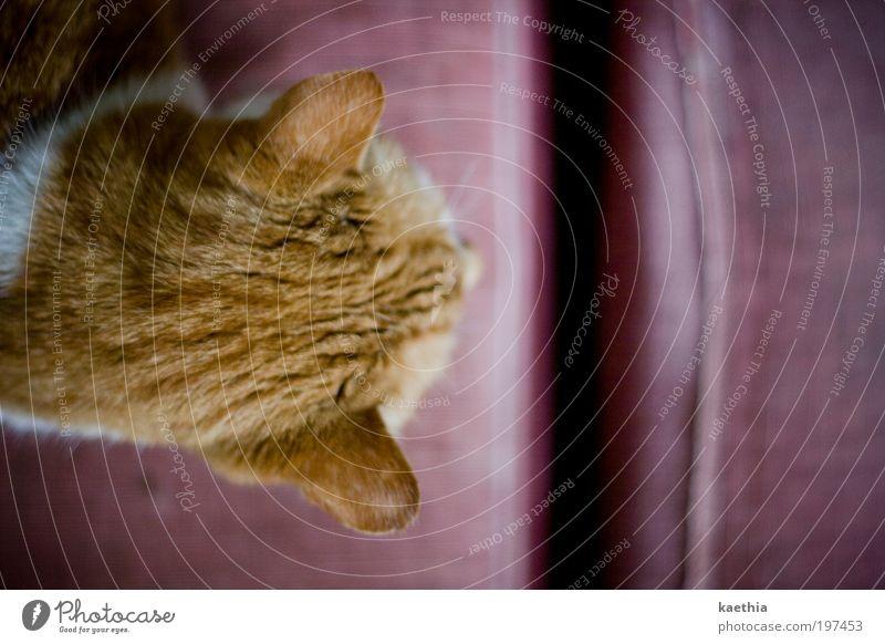 Calm Animal Relaxation Cat Line Orange Flat (apartment) Pink Ear Sofa Pelt Furniture Living room Furrow Pet Armchair