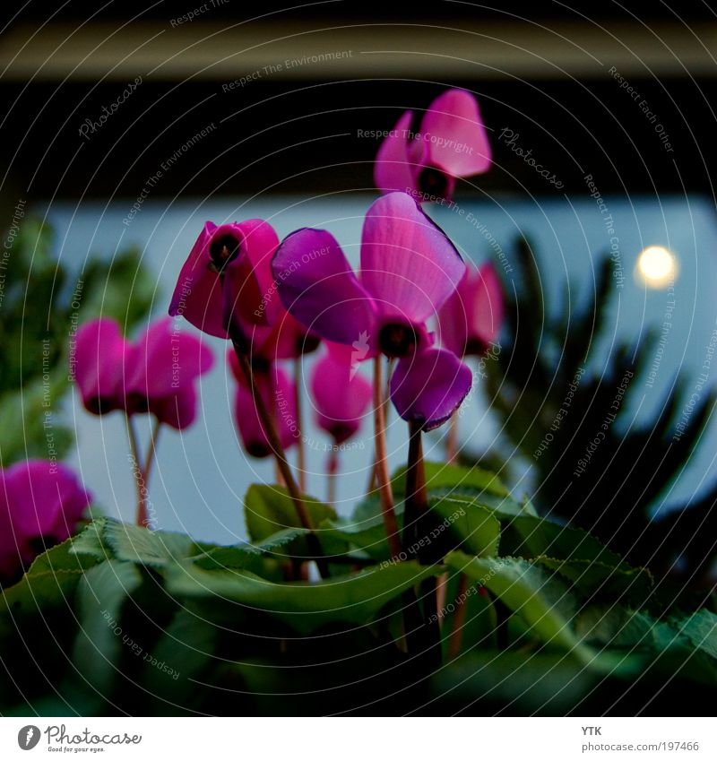 In the Moonlight? Environment Nature Plant Sky Sun Sunrise Sunset Spring Climate Weather Leaf Blossom Foliage plant Blossoming Growth Dark Exotic Natural Violet