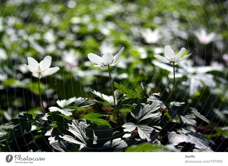 three for the sun Wood anemone spring awakening Light Light reflection Mood lighting spring flowers Blossom Light Reflection Spring day April blossom