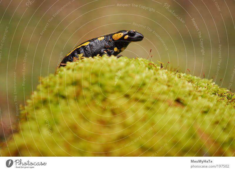 Salamandra salamandra Nature Water Green Plant Red Black Clouds Animal Yellow Mountain Spring Stone Brown Gold Animal face Wild animal