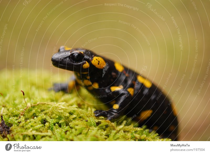 Salamandra Salamandra Green Black Animal Yellow Gray Stone Brown Gold Animal face Zoo Wild animal Multicoloured