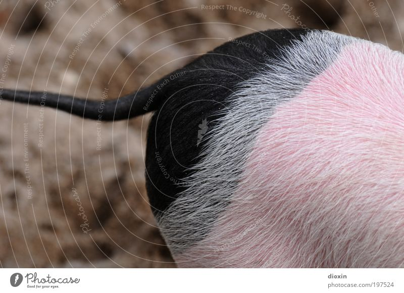 Black Animal Gray Funny Pink Bottom Pelt Zoo Cute Pet Swine Tails Pigs Farm animal Production Human being