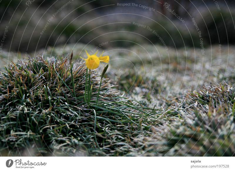 shimmering grass [LUsertreffen 04|10] Environment Nature Plant Flower Grass Foliage plant Wild daffodil Yellow Green Joie de vivre (Vitality) Spring fever