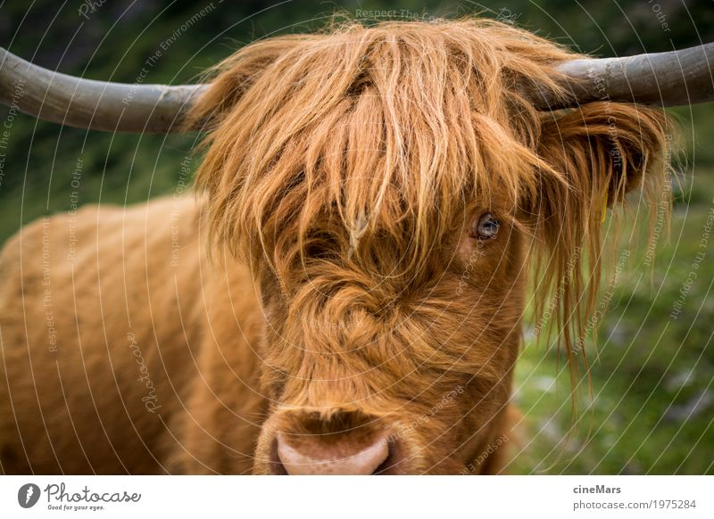 Checking view of oxen Animal Grass Farm animal Cow Animal face 1 Feeding Hunting Looking Hiking Threat Large Muscular Natural Strong Bravery Self-confident