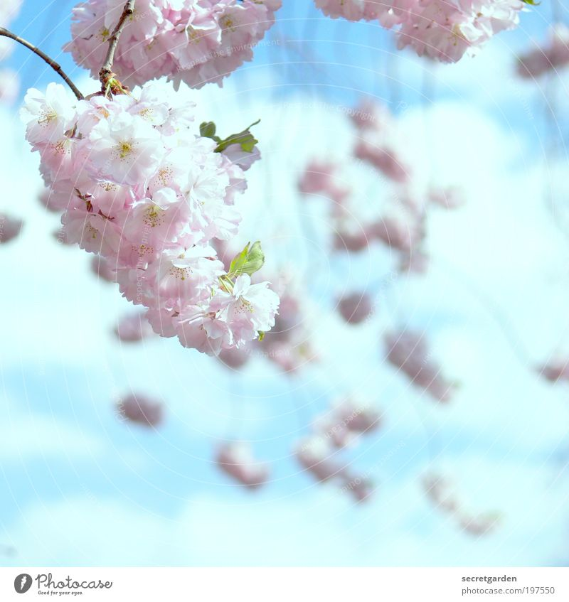 dream sequence. Mother's Day Cherry Blossom Festival Gardening Nature Plant Sky Spring Tree Cherry blossom Park Blossoming Fragrance Illuminate Beautiful Kitsch