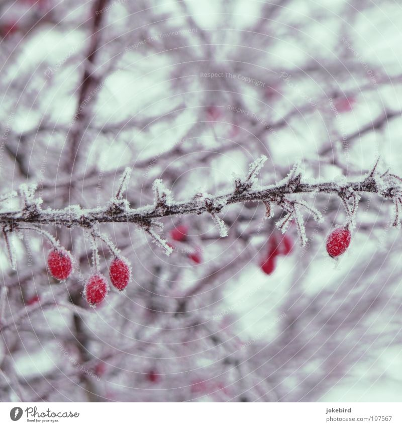 iced tea Plant Winter Ice Frost Snow Bushes Rose hip Fruit Thorn Twigs and branches Cold Point Thorny Red White Nature Beautiful Winter activities Frozen Freeze