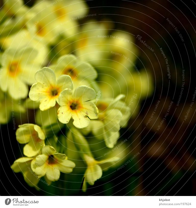 yellow cry Nature Plant Spring Flower Wild plant Cowslip Yellow Environmental protection Colour photo Exterior shot Close-up Deserted Neutral Background Day