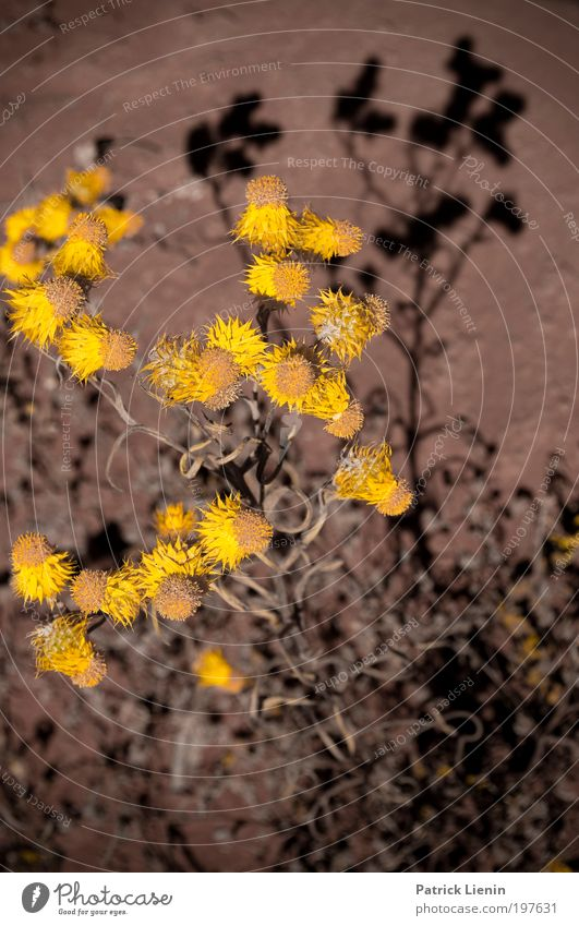 Light and shadow Environment Moody Aster Blossom Stalk Yellow Black Contrast Shadow Red Many Plant Dry Vertical Hot Beautiful Semi-desert Outback Trip
