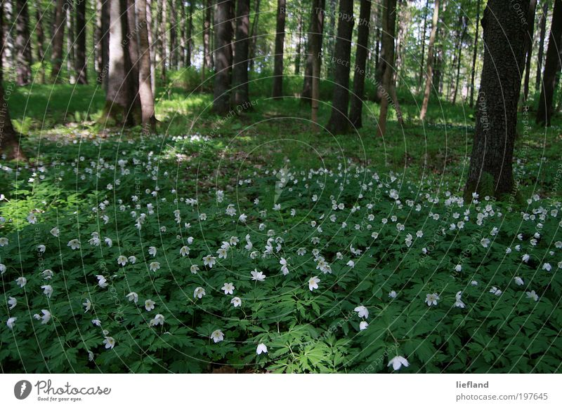 Forest meadow in Latvia Nature Plant Spring Tree Flower Foliage plant Wild plant Anemone Meadow Glade Esthetic Beautiful Many Green Spring fever Romance Life