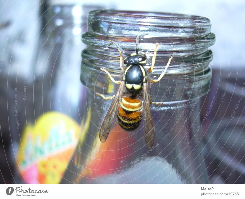 Wasp looking for food Wasps Insect Sugar Transport Bottle Close-up Lemonade
