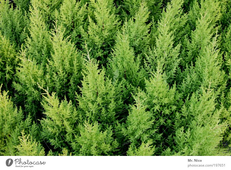 green meeting Nature Bushes Foliage plant Green hardy Evergreen plants Thuja Hedge Growth Tuja Spring Branched herald of spring Horticulture christmas trees
