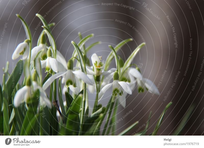 spring bell Environment Nature Plant Spring Beautiful weather Leaf Blossom Snowdrop Forest Blossoming Stand Growth Esthetic Fresh Uniqueness Natural Gray Green