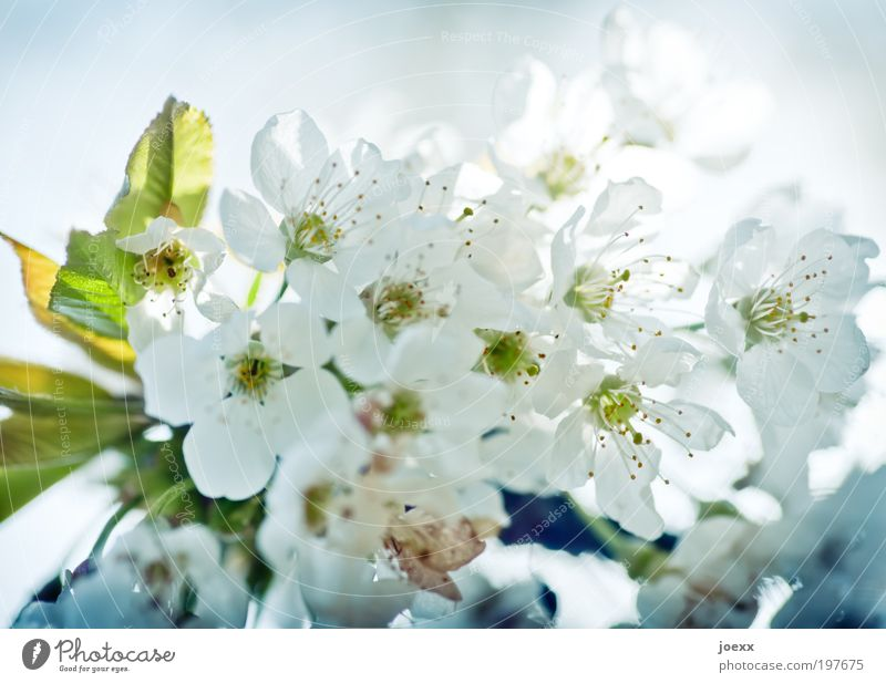 Nature White Green Blue Spring Cherry blossom