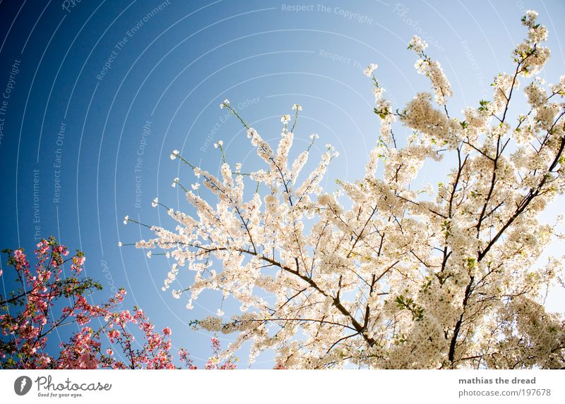 FLOWERING TIME Environment Nature Landscape Plant Cloudless sky Spring Beautiful weather Tree Flower Leaf Blossom Agricultural crop Park Meadow Blossoming