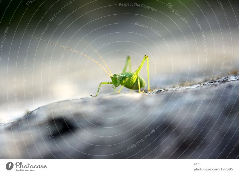 Green Animal Gray Stone Legs Elegant Esthetic Cool (slang) Insect Wild animal Cute Sunbathing Feeler Hop Locust