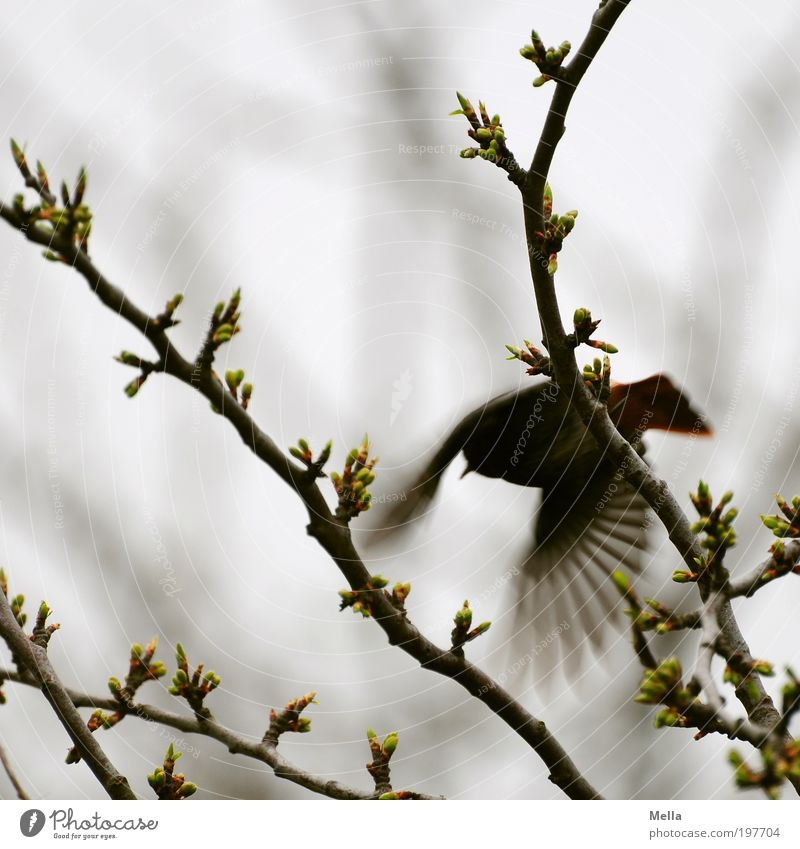 Shoo! Environment Nature Plant Animal Spring Branch Wild animal Bird Redstart 1 Flying Free Small Natural Gray Fear Movement Freedom Escape Flee Colour photo