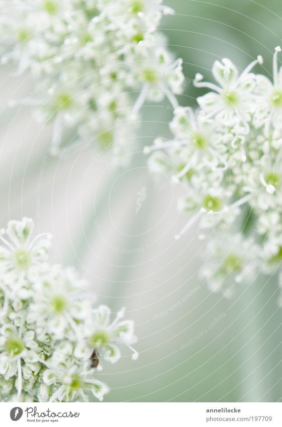 a hint of spring Environment Nature Plant Spring Summer Beautiful weather Flower Blossom Wild plant Apiaceae Umbellifer Park Meadow Field Blossoming Faded