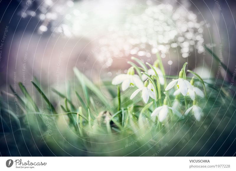 Beautiful snowdrops flowers Lifestyle Nature Plant Sunlight Spring Beautiful weather Flower Leaf Blossom Garden Park Blossoming Soft Design Background picture