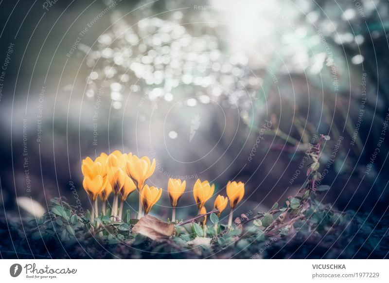 Spring nature background with yellow crocuses Lifestyle Garden Nature Plant Beautiful weather Flower Leaf Blossom Park Blossoming Soft Yellow Design